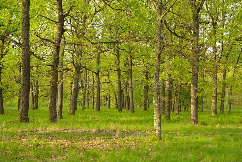 Download 日落的橡木森林 库存图片. 图片 包括有 国家(地区), 生态, 日出, 绿色, 叶子, 魔术, 干净, 早晨 - 72361925