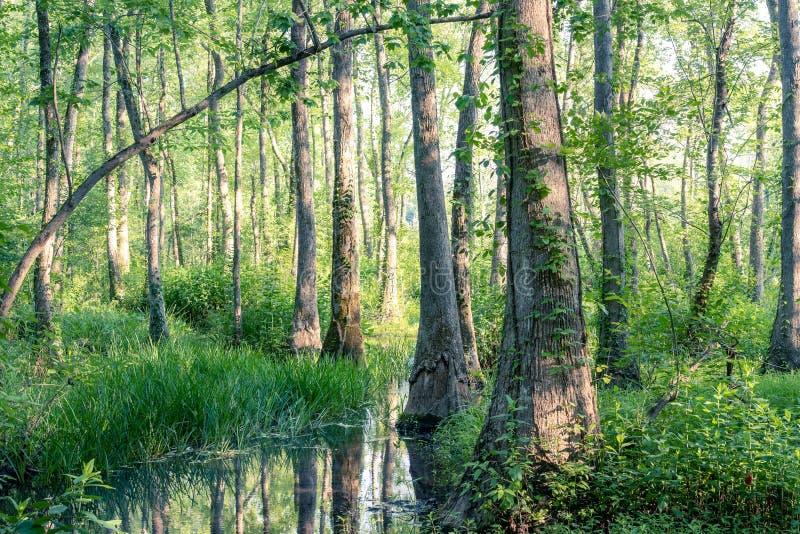 日落的沼泽森林 免版税库存图片