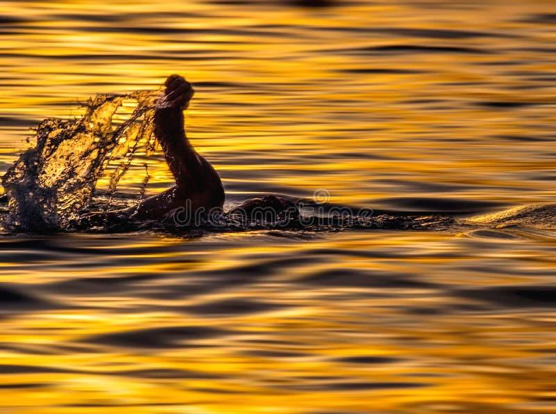 日落的游泳者 免版税库存图片