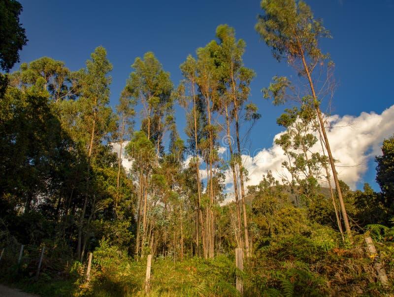日落的玉树森林 库存图片