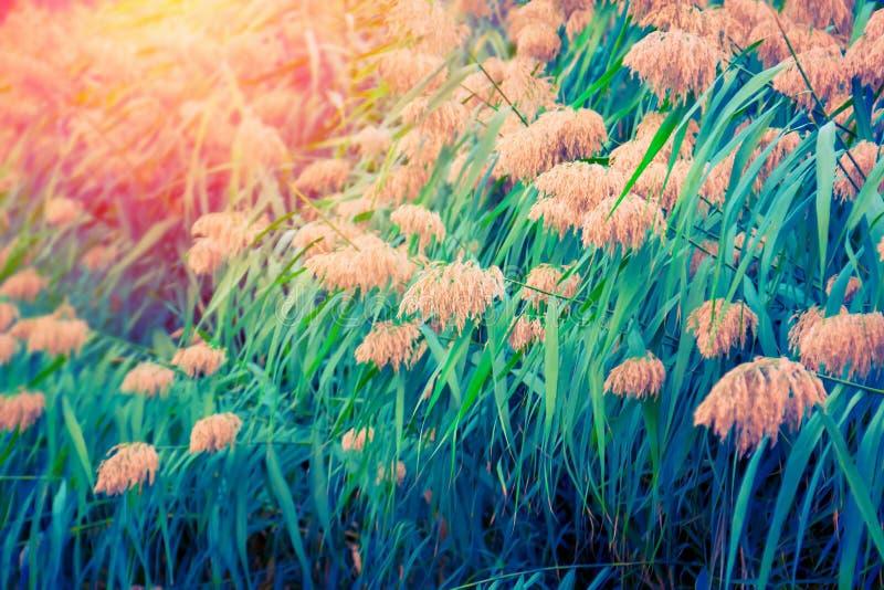 日落的绿色纸莎草植物 图库摄影
