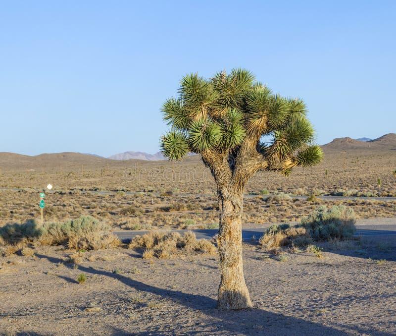 日落的美丽的丝兰植物 免版税库存图片