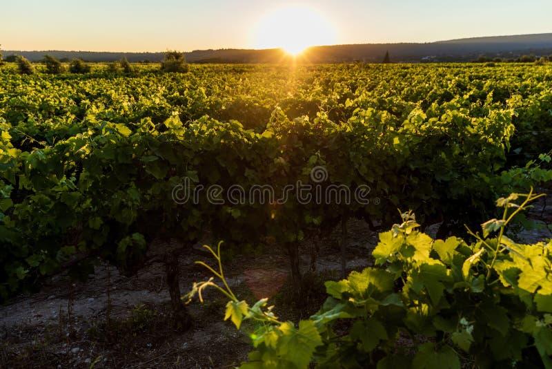 日落的美丽的绿色葡萄园 图库摄影