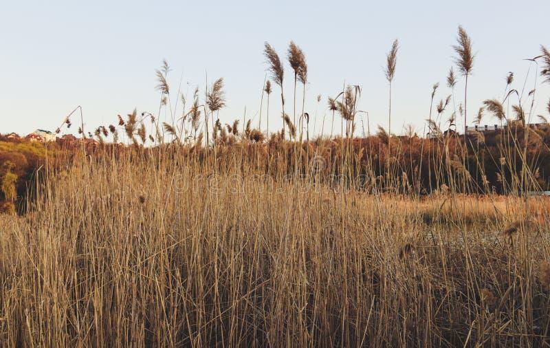 日落的背景的里德 免版税图库摄影