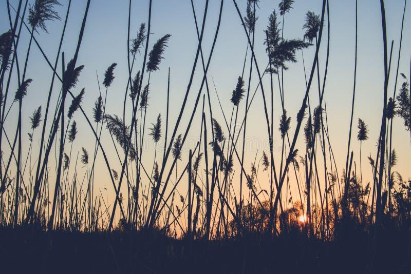 日落的背景的里德 库存图片