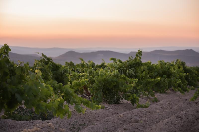 日落的葡萄园在山 有选择性的软的焦点 免版税库存照片