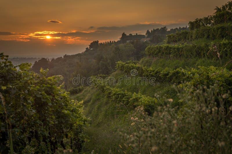 日落的葡萄园在意大利 库存照片