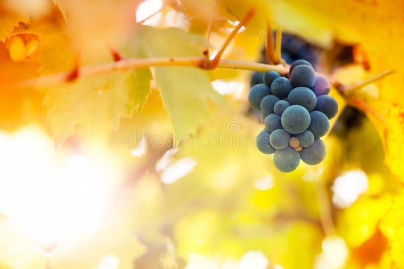 日落的葡萄园在秋天收获季节 免版税库存图片