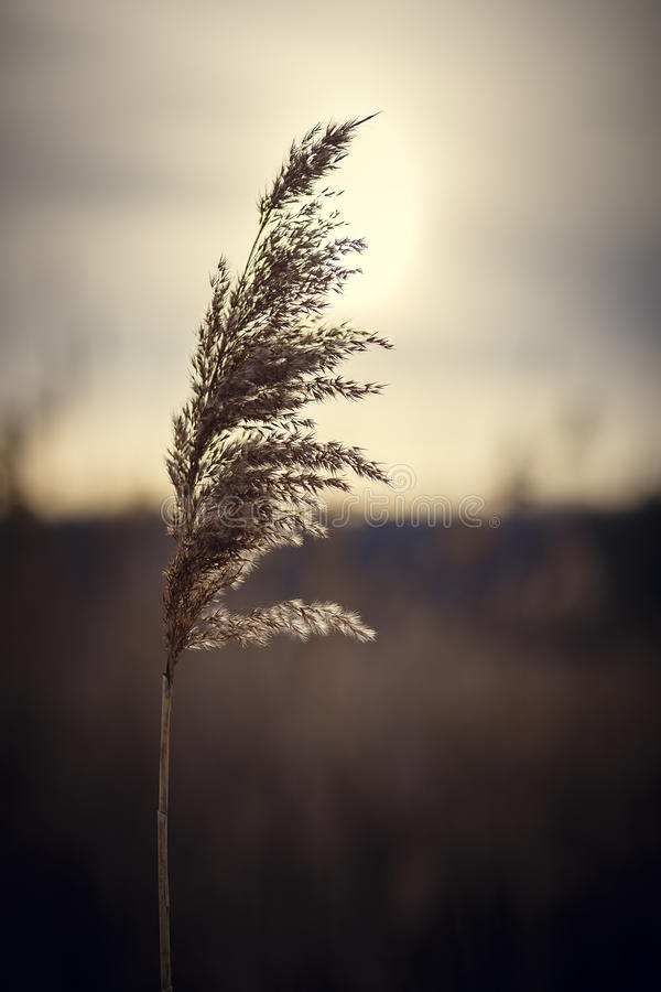 日落的里德 库存照片