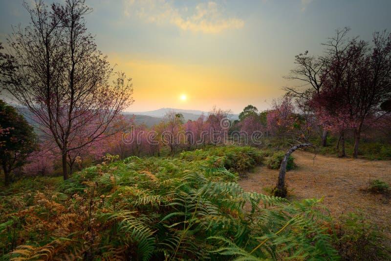 日落美好的风景在桃红色佐仓进展酸碱度的森林 库存照片