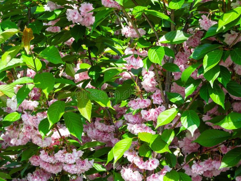 日语佐仓柔和的桃红色双重花惊人的花卉背景在绿色叶子中的 库存图片