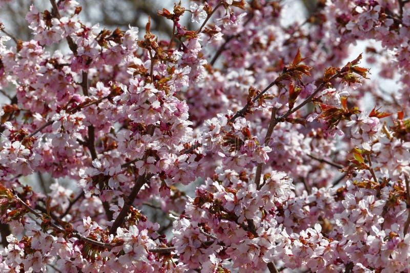 日语佐仓花  春天樱花在植物园里 全景 库存照片