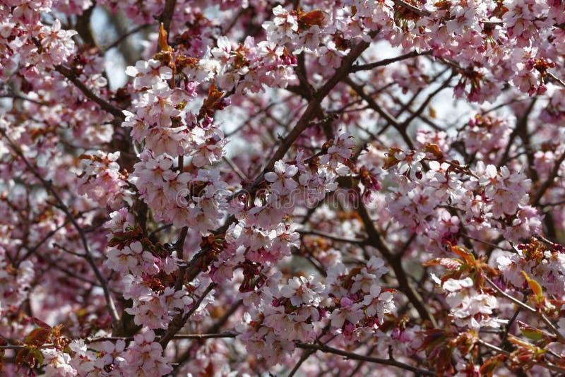 日语佐仓花  春天樱花在植物园里 全景 免版税库存图片