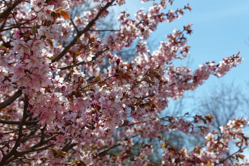 日语佐仓花  春天樱花在植物园里 全景 库存图片