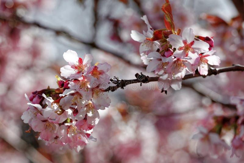 日语佐仓花  春天樱花在植物园里 全景 免版税库存照片