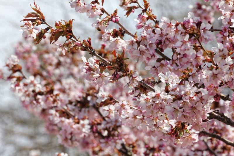 日语佐仓花  春天樱花在植物园里 全景 免版税图库摄影