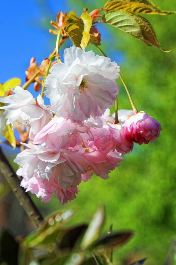 日语佐仓花  春天樱花在植物园里 免版税库存图片