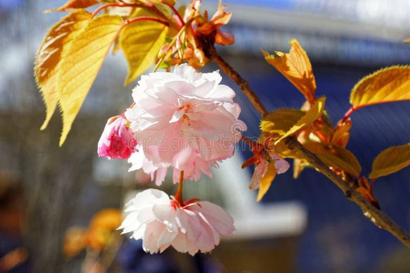 日语佐仓花  春天樱花在植物园里 库存照片