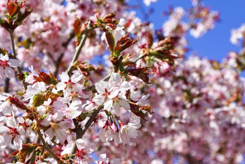 日语佐仓花  春天樱花在植物园里 库存图片