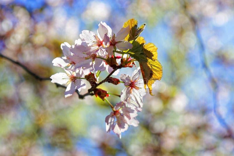 日语佐仓花  春天樱花在植物园里 图库摄影