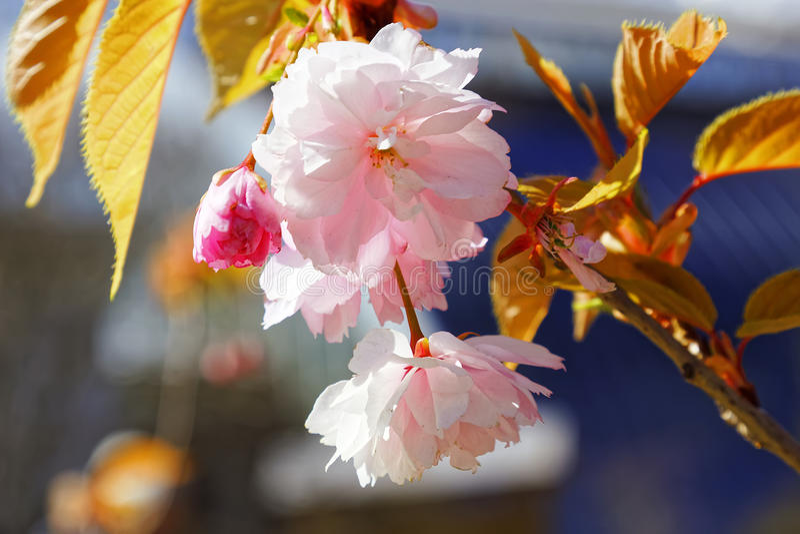 日语佐仓花  春天樱花在植物园里 免版税库存照片