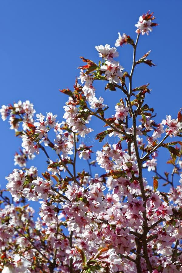 日语佐仓花  春天樱花在bota的 库存图片