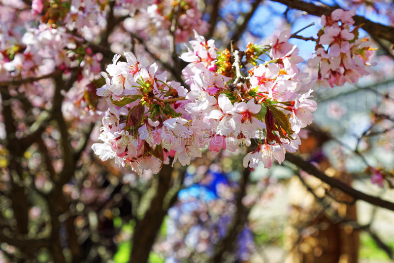 日语佐仓花  春天樱花在bota的 免版税图库摄影