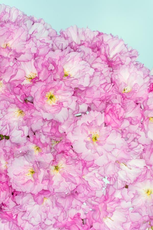 日语美丽樱桃桃红色花  图库摄影