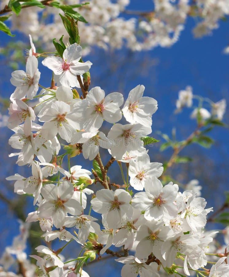 日语2棵的樱桃 图库摄影