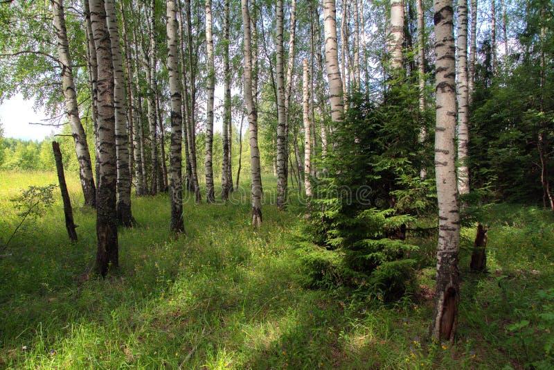 日晴朗森林的横向 库存照片