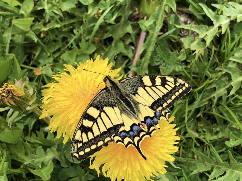 旧世界swallowtail蝴蝶Papilio machaon或Schwalbenschwanz Schmetterling 免版税库存照片