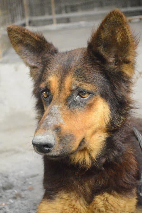 更旧的狗 库存照片