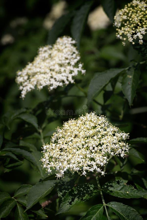 更旧的白色开花成群,接骨木花老黑开花医药 库存图片