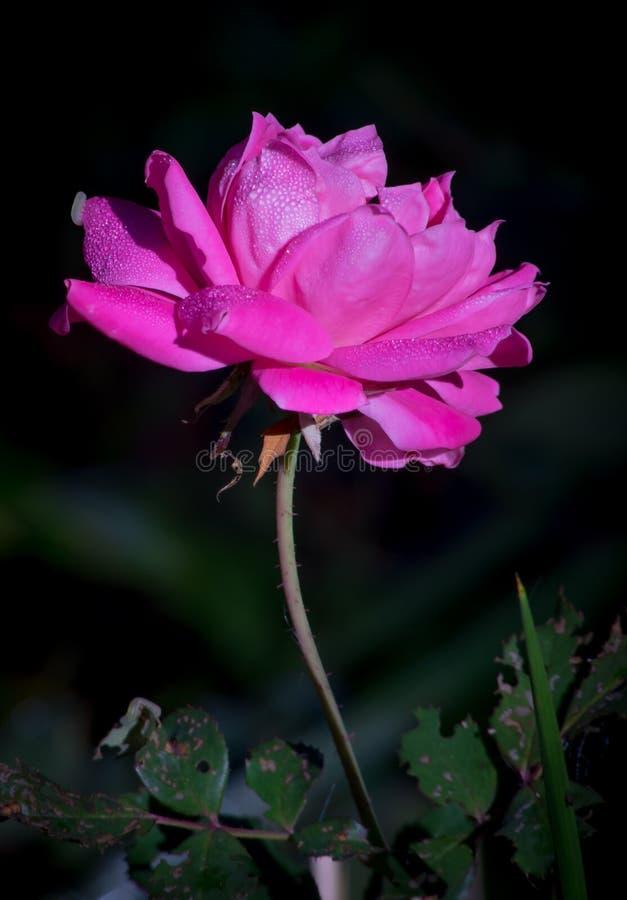 早晨光的桃红色罗斯 免版税图库摄影