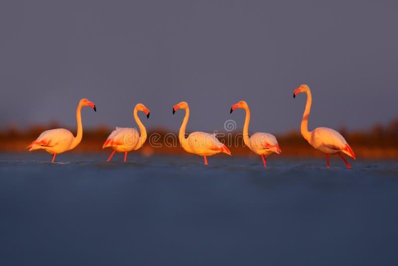 早晨光,海水 更加伟大的火鸟, Phoenicopterus ruber,好的桃红色大鸟,动物在自然栖所, Camargue, Fran 库存照片