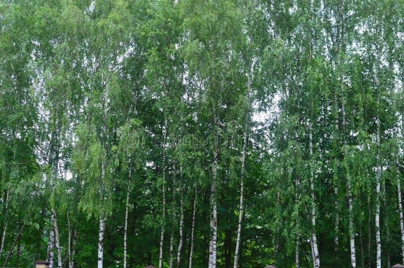 早晨在桦树森林里 库存图片