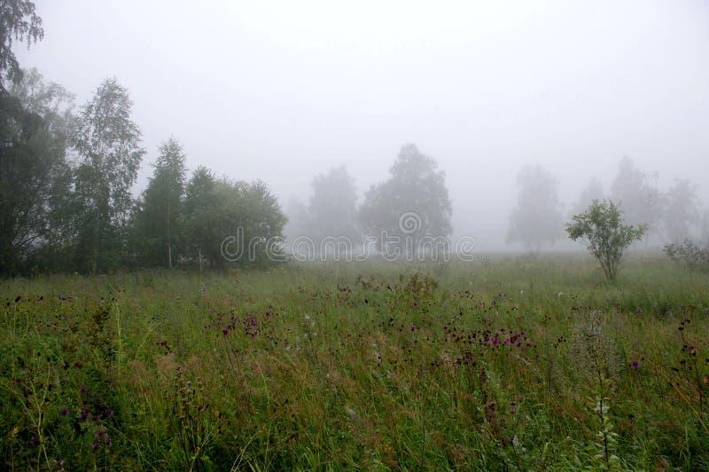 早晨在桦树森林里 库存照片