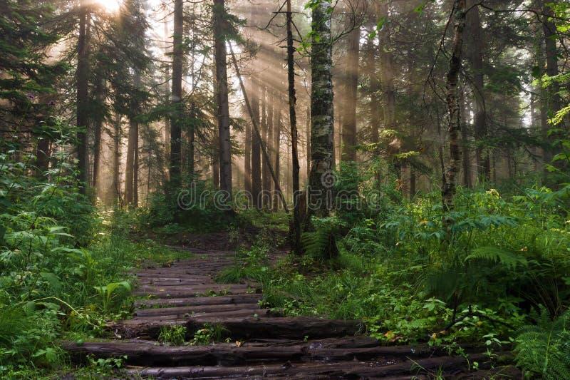 早晨在深森林里 库存照片