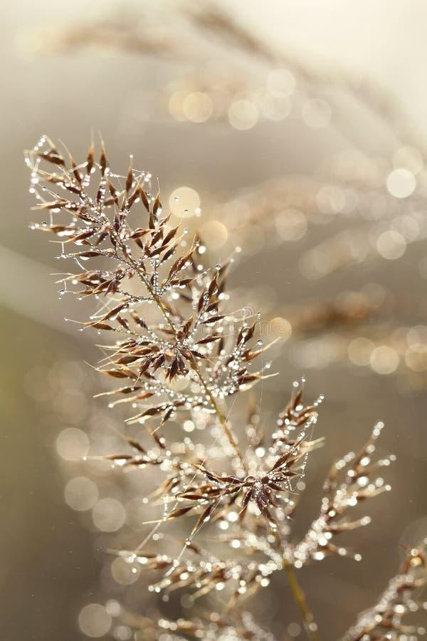 早晨在黄色草在秋天降露早晨 库存照片
