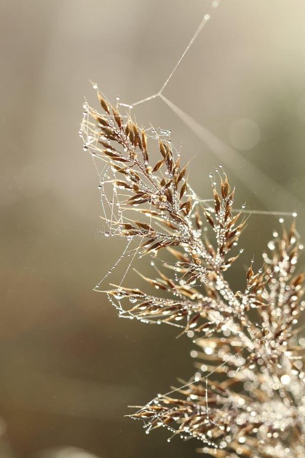 早晨在黄色草在秋天降露 库存图片
