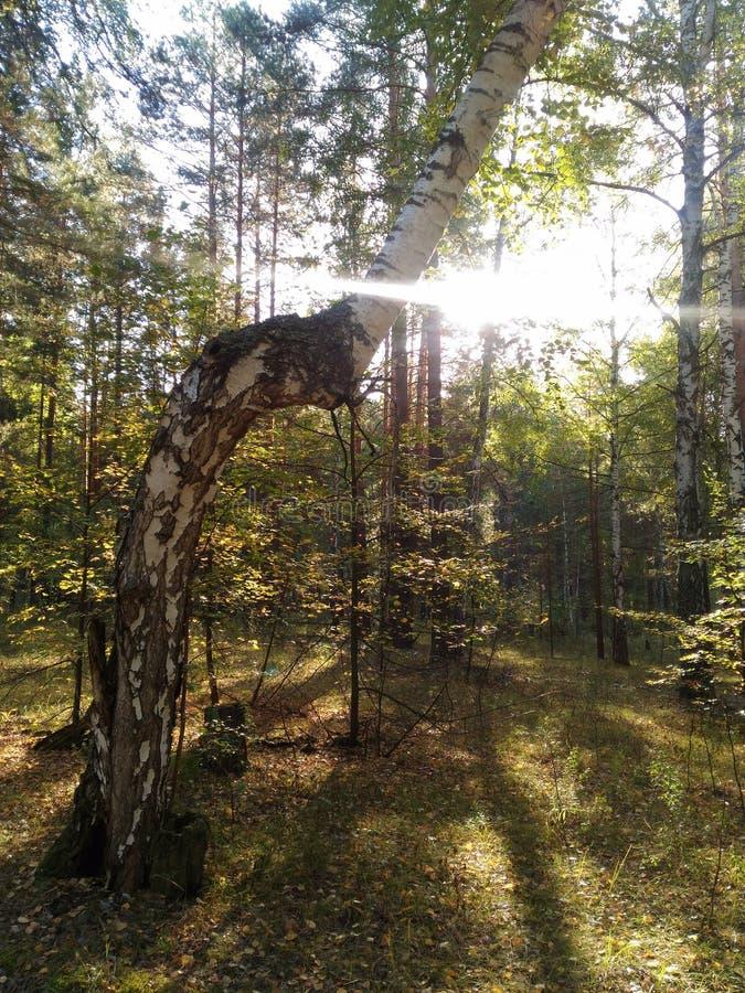 早晨太阳在一个弯曲的桦树发光在秋天森林里 免版税库存图片