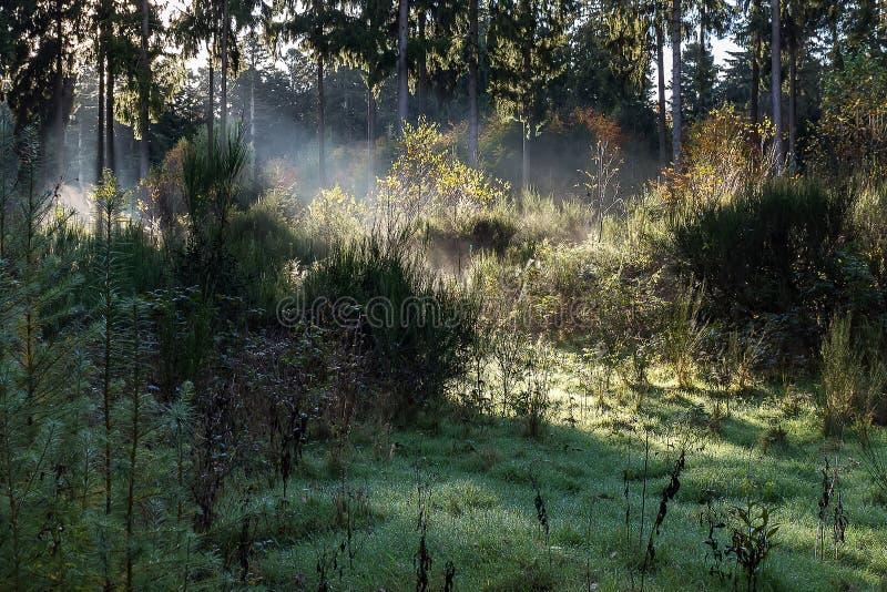 早晨太阳在薄雾发光在一个满地露水的森林里 库存照片