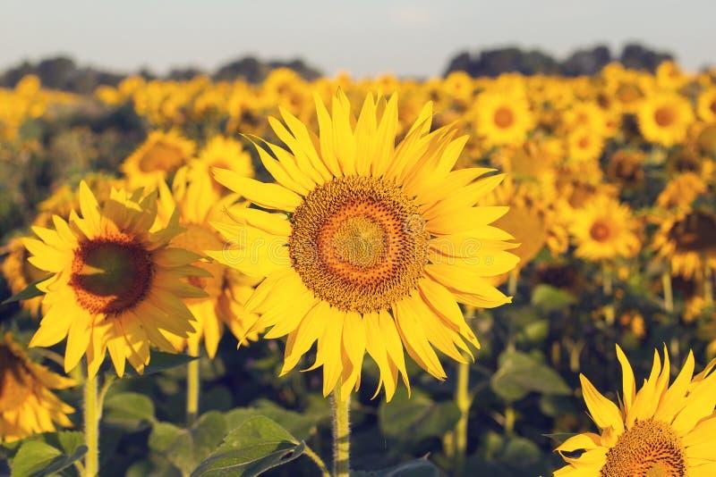早晨太阳照亮的向日葵