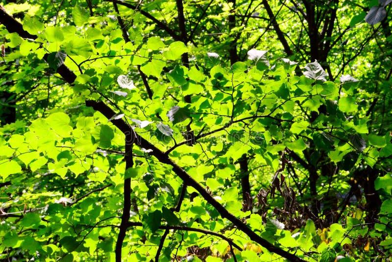 早晨太阳照亮的绿色森林,从里面 库存图片