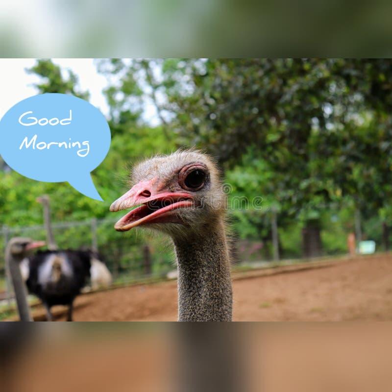 早晨好滑稽的图象驼鸟 免版税库存照片