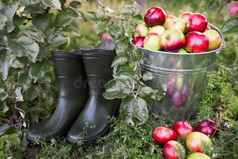 早晨有机苹果树收获概念 免版税图库摄影