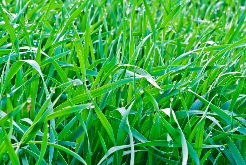 早晨的下落在绿草降露。 库存图片