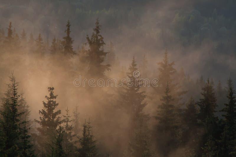 早晨薄雾在具球果森林里 免版税图库摄影