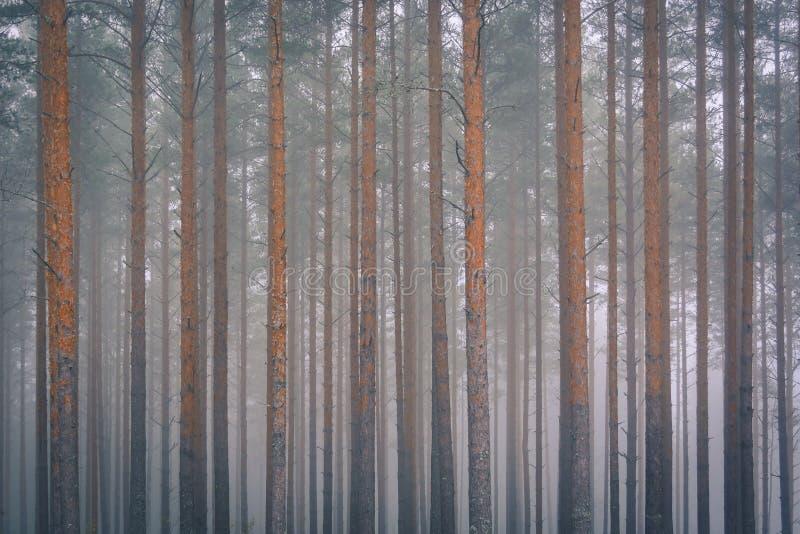 早晨薄雾的森林 库存照片