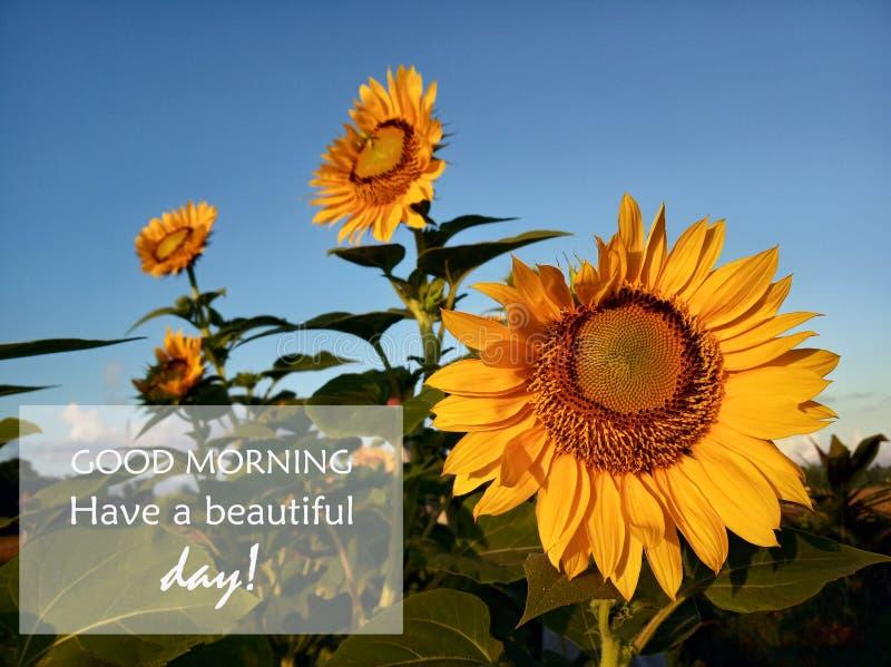 早晨问候早晨好 有一好天气 用向日葵开花 的向日葵植物barden和天空蔚蓝 库存图片